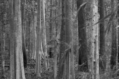 2014-04-16_Mondulkiri_trees__bw_